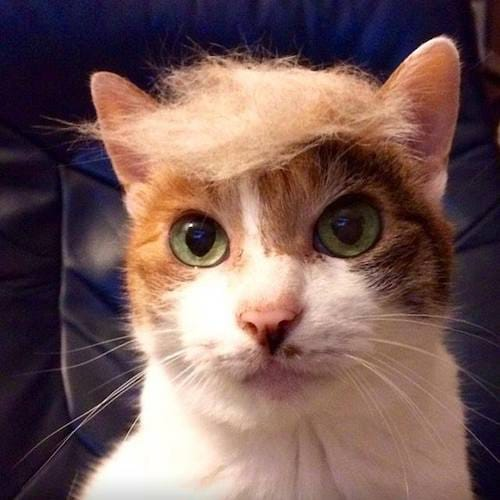 cat with Trump hair 4