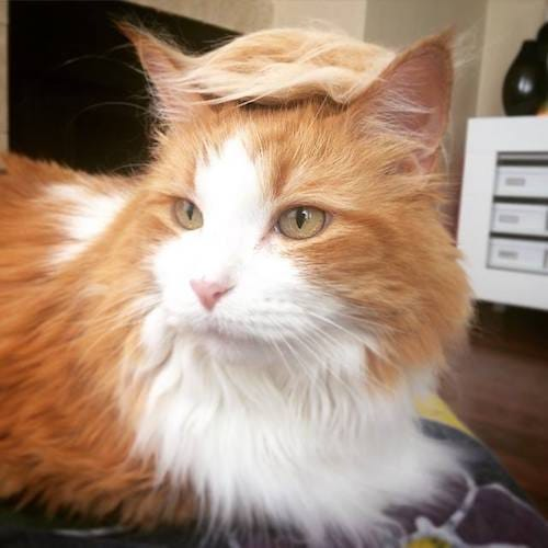 cat with Trump hair 5