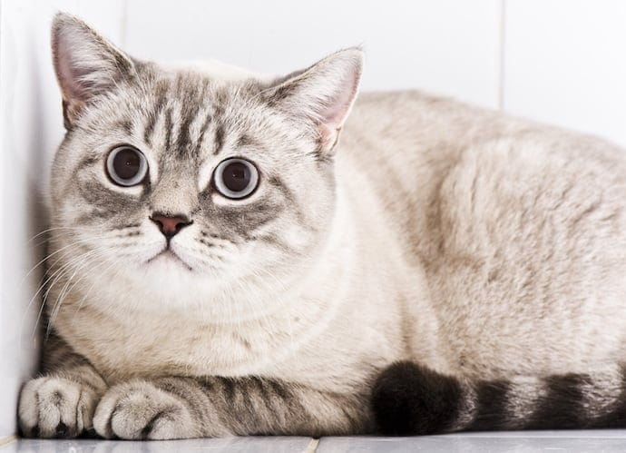 Gray Depressed Cat British shorthair