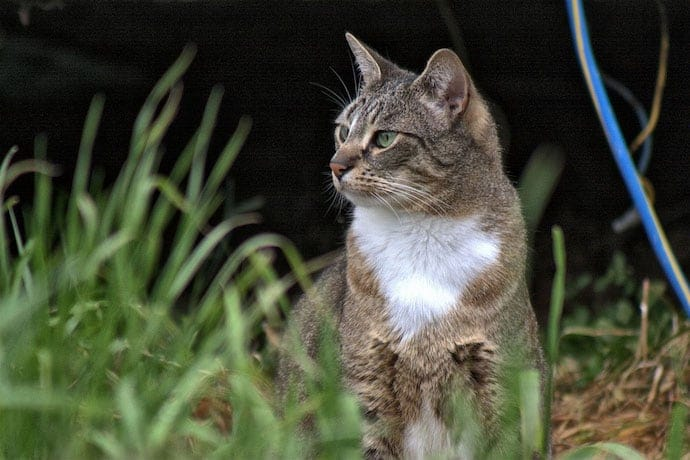 Feral cat in the grass observing