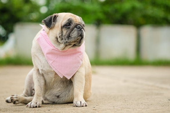 Obesity in Dogs: The Dangers of Having an Overweight Dog