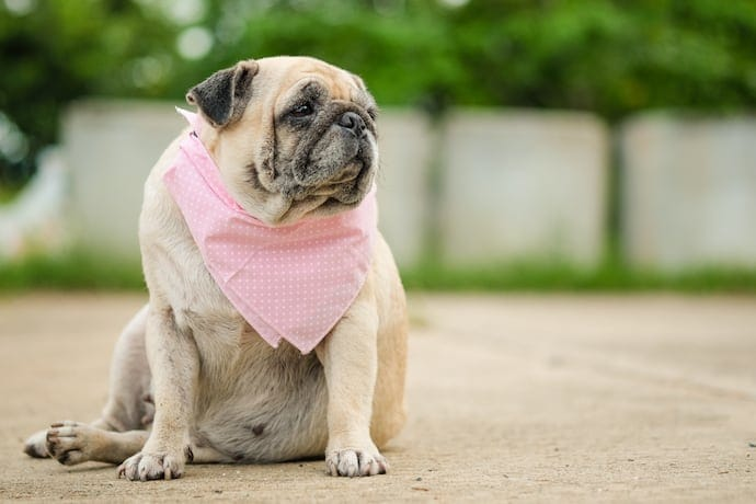 Obese overweight dog pug