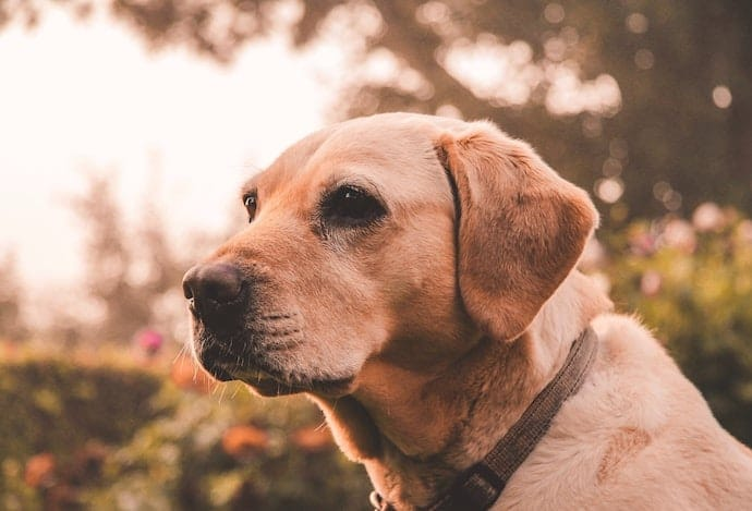 Senior dog labrador
