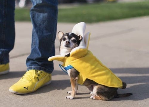 Chihuahua weared in a banana dog costume