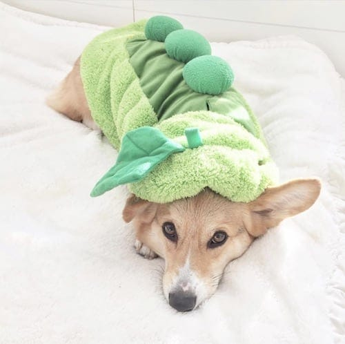 Corgi weared in a pea dog costume