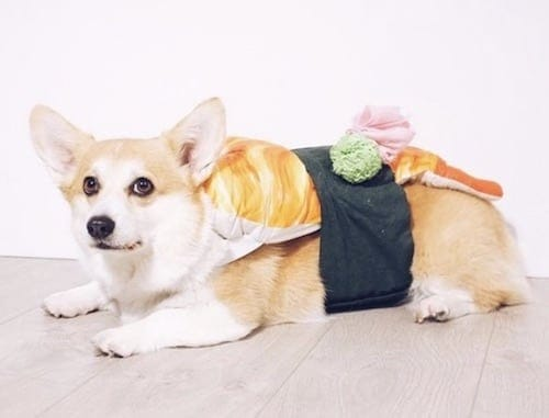 Corgi weared in a sushi dog costume
