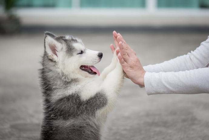 happy husky high five