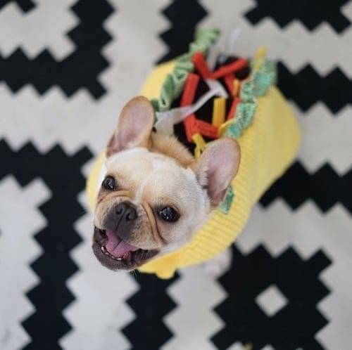 Bulldog weared in a taco dog costume