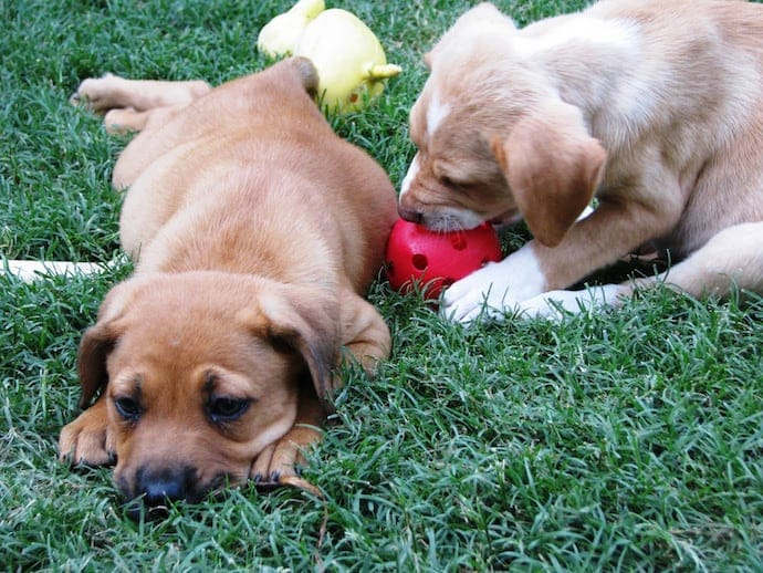 two puppies playing on the grass
