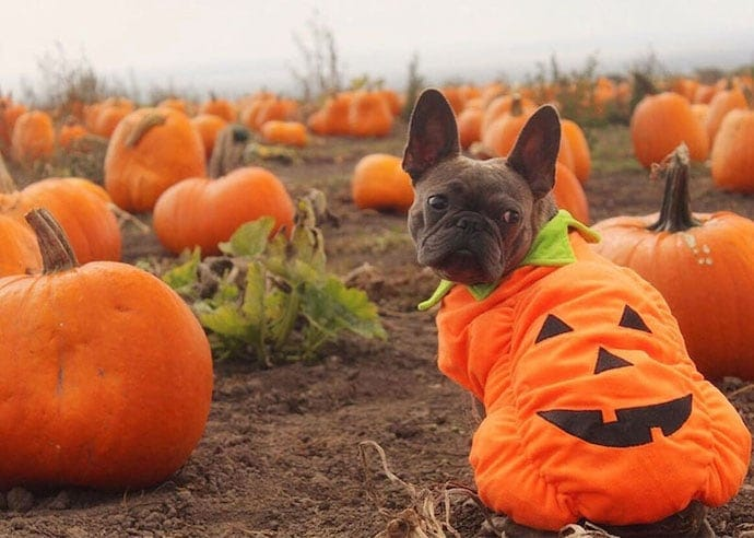 Dog wearing a pumpkin costume