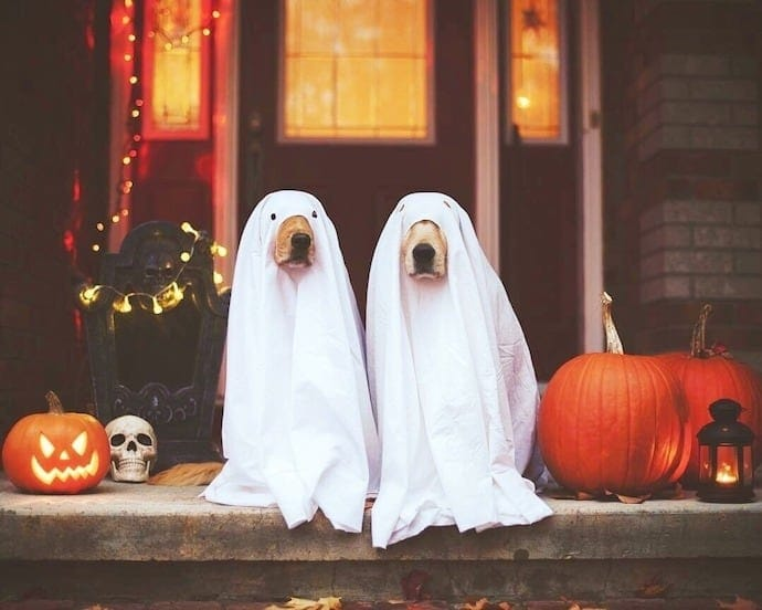 two dogs in ghost halloween costumes and pumpkins