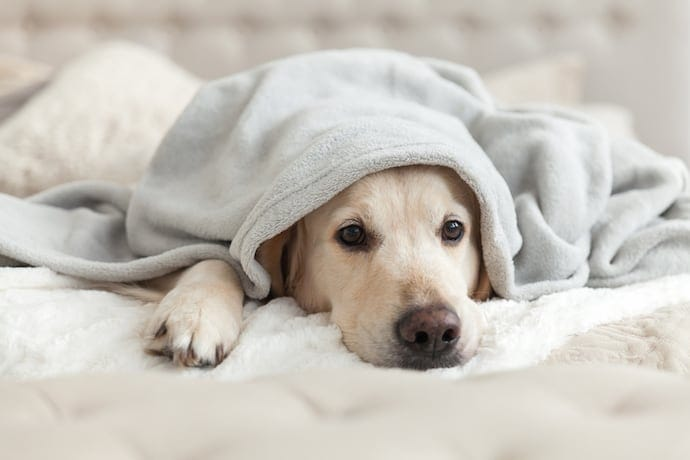 a sad dog labrador is laying in the bed