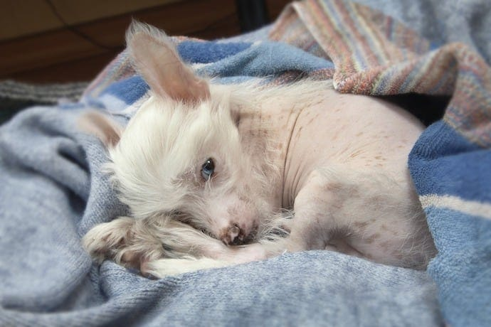 Chinese Crested apartment dog breed