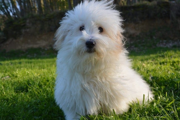 Coton de Tulear apartment dog breed
