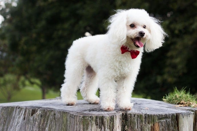 Poodle appartment dog breed