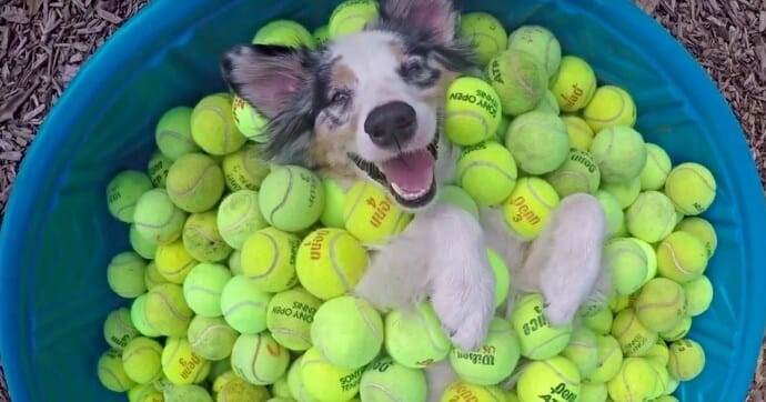 Dog in kiddy pool full of tennis balls