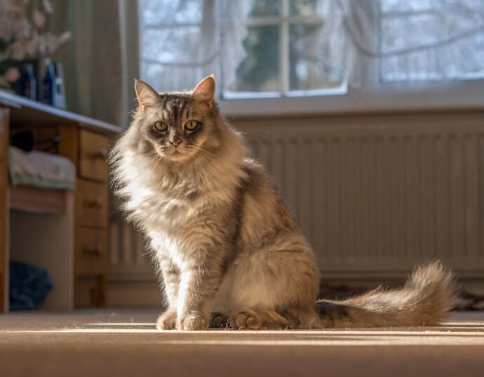 A long-haired cat