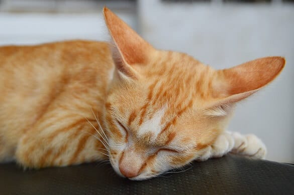 Cat Snoring: 5 Reasons Why Your Cat Snores