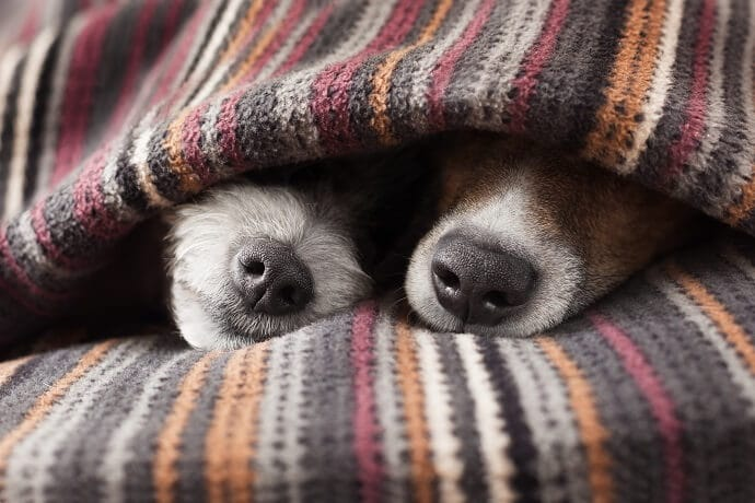 two dogs in bed
