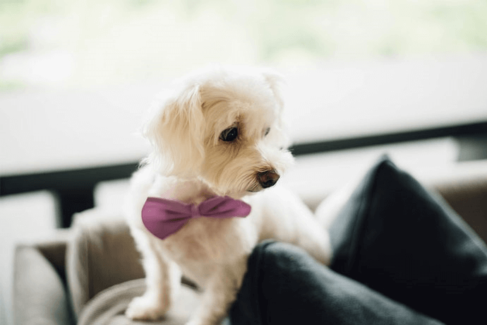 a dog with a pink bow tie