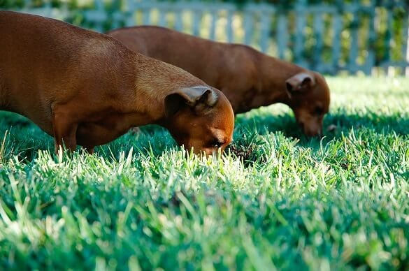 Why Do Dogs Eat Grass? Another Weird Dog Behavior Explained