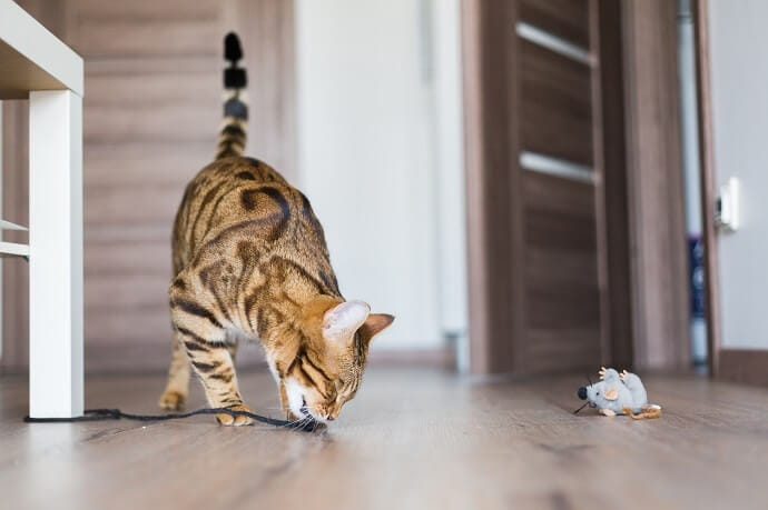 cat chewing a lace