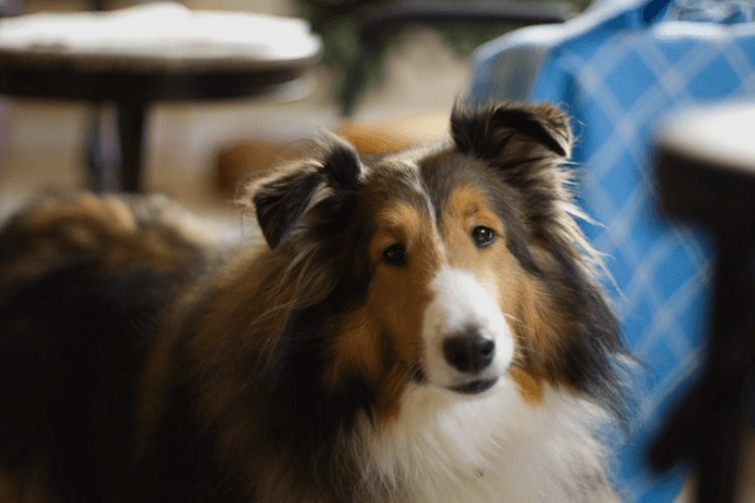 Collie at home