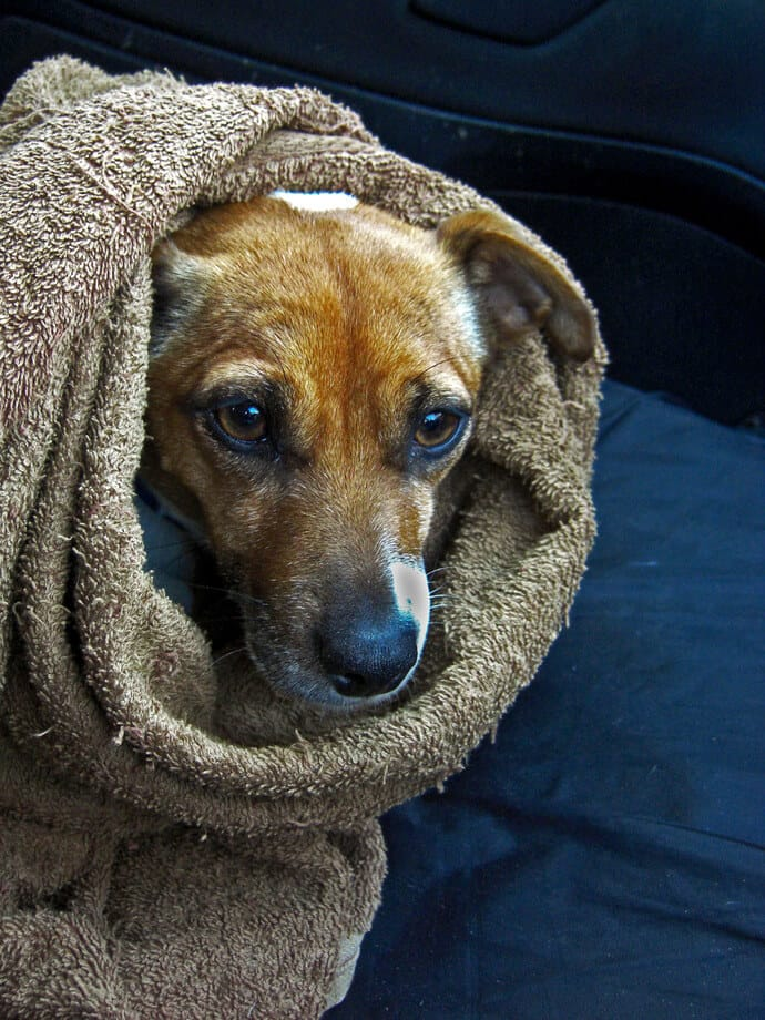 dog in a wet towel
