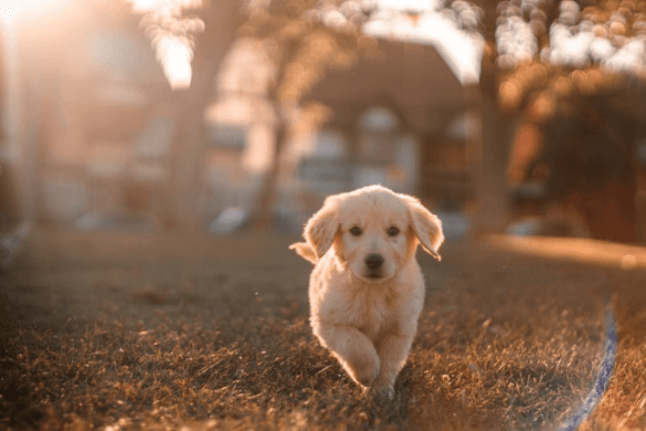 Choosing a Pup Breed 101: 10 Easiest Dog Breeds for Novice Owners