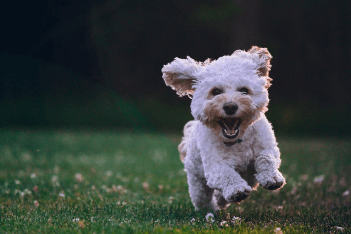 Poodle running