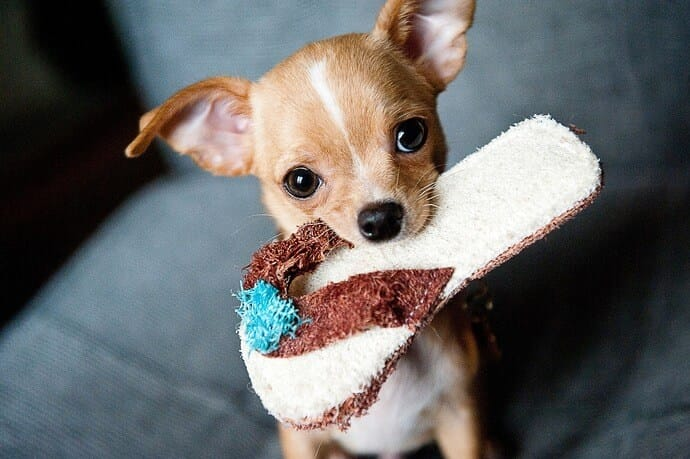 puppy with slippers
