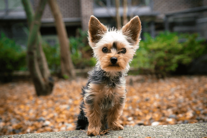 Yorkshire Terrier at street