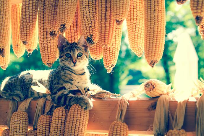 can cats have corn