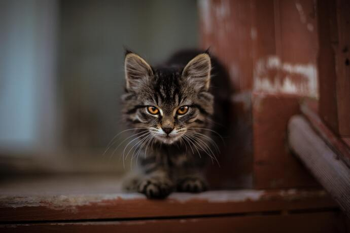 cat about to pounce