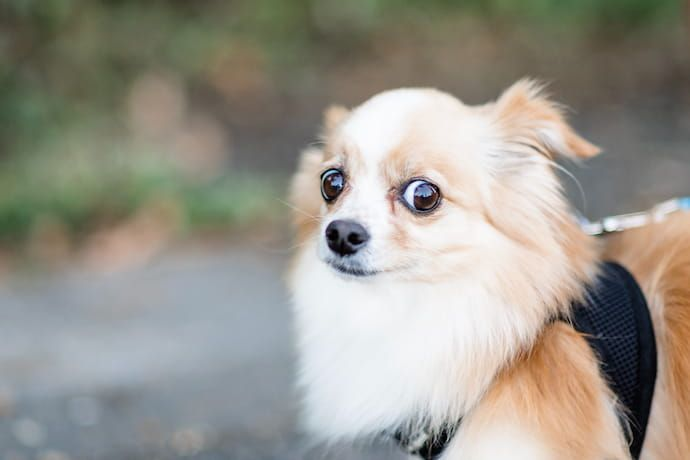 melatonin for dogs with anxiety