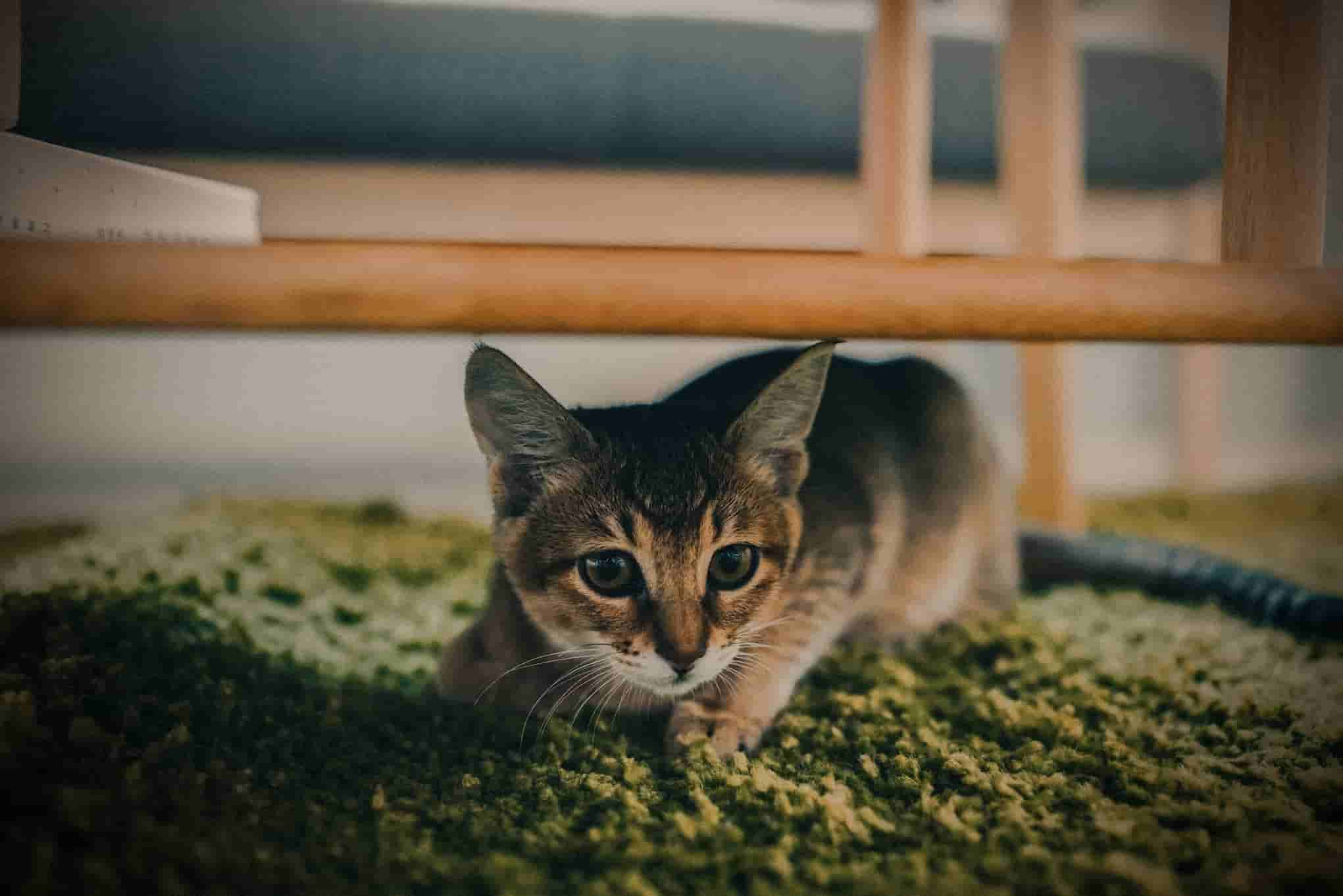 Crouching Tiger, Hidden Kitty: How to Deal with a Cat That's Hiding